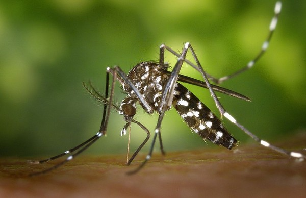tigrasti komarac d 06092015