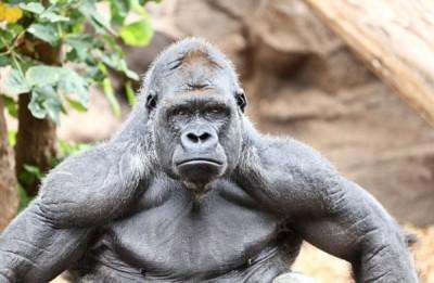 gorila29052016