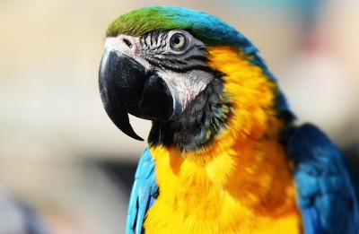 papagaj-f-2532017