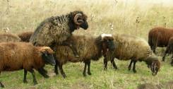 ovce-l-23102017